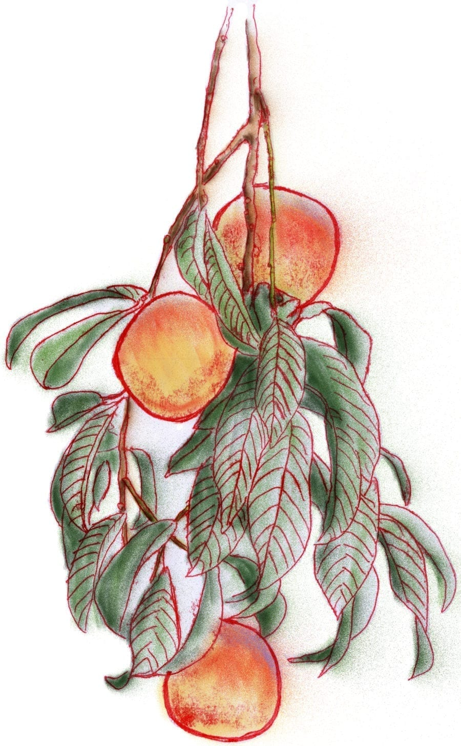 peaches-on-tree